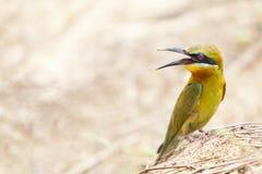 bee-eater Blu-munito Immagine Stock