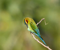 bee-eater Blu-munito Immagini Stock