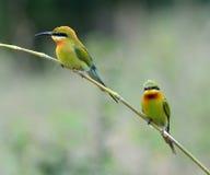 bee-eater Blu-munito Fotografia Stock Libera da Diritti