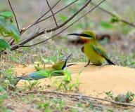 bee-eater Blu-munito Fotografie Stock