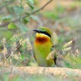 bee-eater Blu-munito Immagine Stock Libera da Diritti