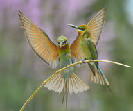 bee-eater Blu-munito Fotografie Stock Libere da Diritti