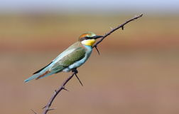 Bee-eater on branch Stock Photography
