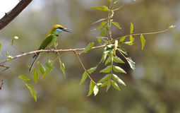 Bee eater on a branch Stock Photo