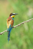 Bee-eater on a branch Royalty Free Stock Photography
