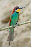 Bee-eater on a branch Royalty Free Stock Photos