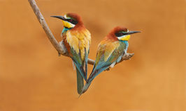 Bee-eater Cannella-chested Fotografie Stock