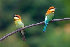 bee-eater Castaña-dirigido Fotos de archivo