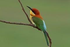 Bee-eater Castaña-dirigido Imagen de archivo