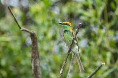 bee-eater Castaña-dirigido Foto de archivo