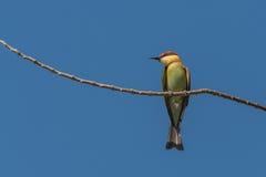 bee-eater Castaña-dirigido Foto de archivo libre de regalías
