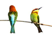 bee-eater Castagna-intestato Immagini Stock