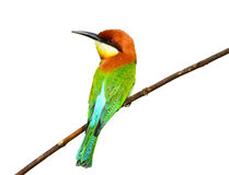 bee-eater Castagna-intestato Fotografie Stock
