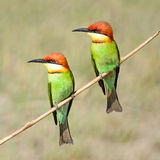 bee-eater Castagna-intestato Immagine Stock