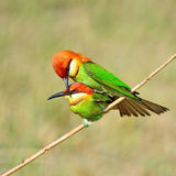 bee-eater Castagna-intestato Fotografia Stock
