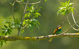 Bee-eater catching insect Stock Images