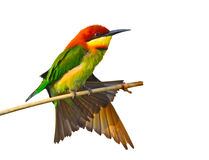 bee-eater Châtaigne-dirigé image libre de droits