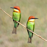 bee-eater Châtaigne-dirigé Images libres de droits