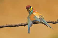 Bee eater Stock Images