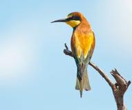 Bee-eater con el espacio izquierdo de la copia Imagen de archivo libre de regalías