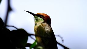 Bee eater in contemplation Royalty Free Stock Images