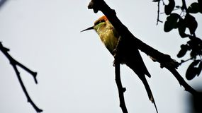 Bee eater in contemplation Stock Photo