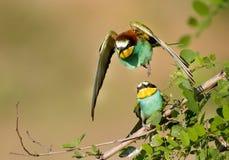 Bee-eater couple Royalty Free Stock Photos