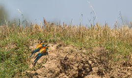Bee Eater couple on the ground royalty free stock image