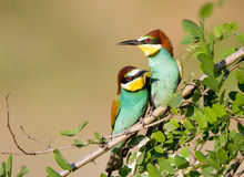 Bee-eater couple Royalty Free Stock Photography