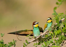 Bee-eater couple Royalty Free Stock Photo