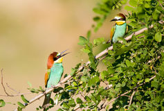 Bee-eater couple Royalty Free Stock Image
