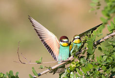 Bee-eater couple Stock Photography
