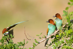 Bee-eater couple with third one Stock Photography