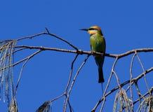 Bee-eater d'arc-en-ciel Photographie stock libre de droits