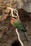 Bee-eater dal petto bianco Immagine Stock Libera da Diritti