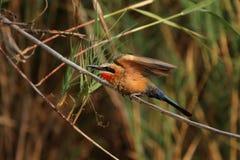 Bee-eater dal petto bianco Fotografia Stock Libera da Diritti