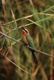Bee-eater dal petto bianco Immagini Stock