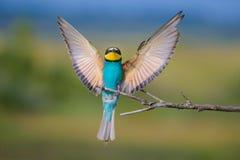 Bee-eater5 de oro Fotografía de archivo