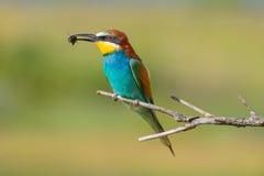 Bee-eater7 de oro Imágenes de archivo libres de regalías