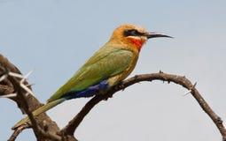 Bee-eater de pecho blanco Imagen de archivo libre de regalías