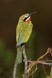Bee-Eater de pecho blanco Fotos de archivo