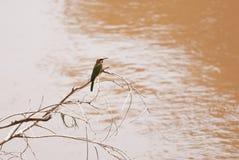 Bee-Eater de pecho blanco Imagenes de archivo