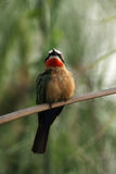Bee-eater de pecho blanco Fotos de archivo libres de regalías