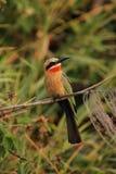 Bee-eater de pecho blanco Foto de archivo libre de regalías