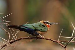 Bee-eater de pecho blanco Fotografía de archivo