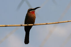 Bee-eater de pecho blanco Foto de archivo