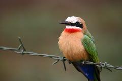Bee-eater de pecho blanco Imágenes de archivo libres de regalías