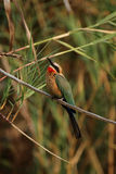 Bee-eater de peito branco Imagens de Stock