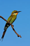 Bee-Eater de Shallowedtailed Images stock