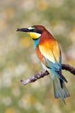 Bee-eater dei colori del Rainbow Immagine Stock